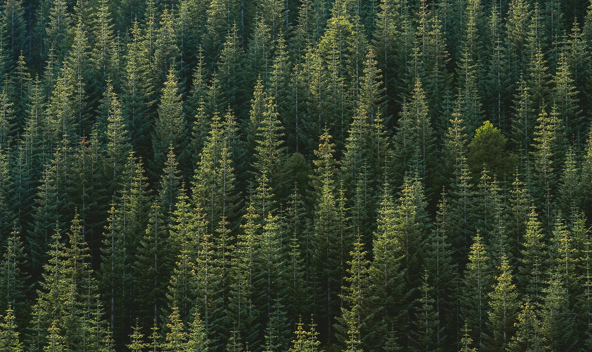 How A Walk In The Pine Trees And Cbd Are Connected