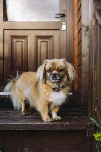 A puffy dog
